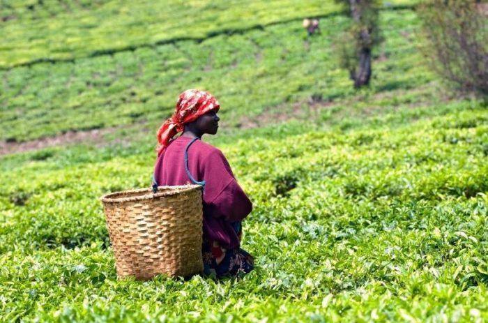 Tea harvesting in Rwanda