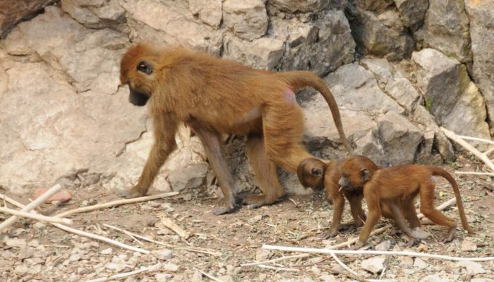 The Red Baboon is the smallest of baboons