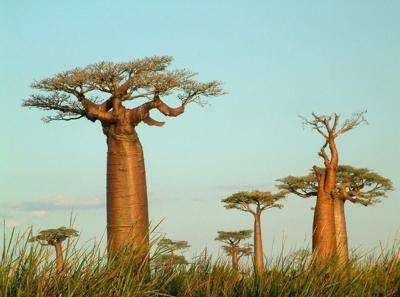 Landscape with monkey bread trees