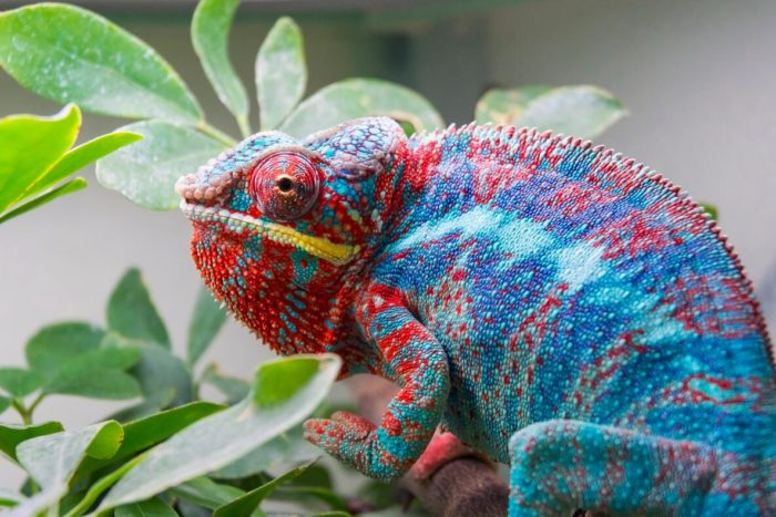 in Madagascar there are many species of geckos and chameleons