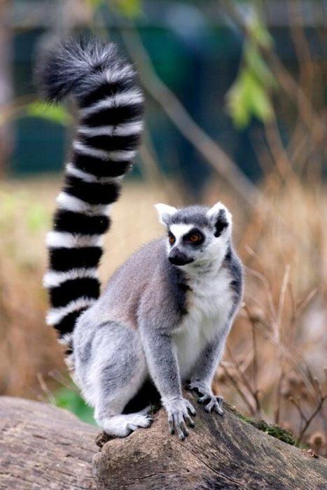Lemur (lemur catta) is one of the half-monkey families found in Madagascar.