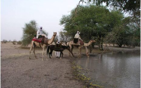 Camels at a waterhole near the city of Mao Chad